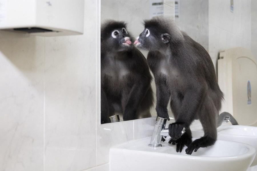 เอ็นดูน้อง! 'ค่าง' สิงคโปร์ ขอแวะเสริมหล่อในห้องน้ำสาธารณะ