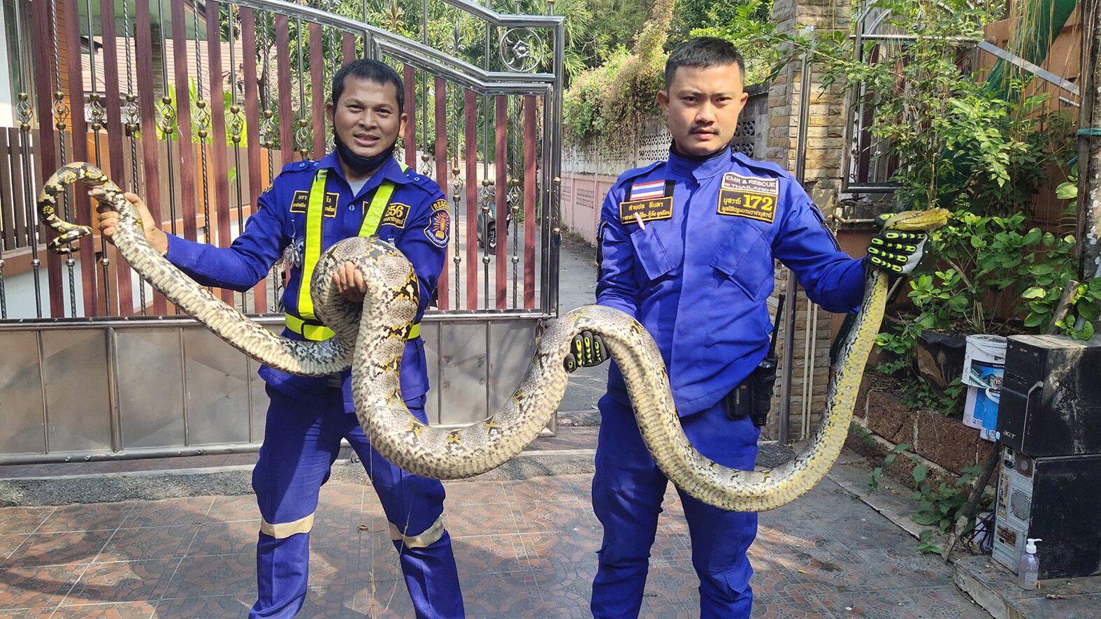 จับงูเหลือมยาว 4 เมตร ขณะเลื้อยข้ามกำแพง หวั่นอันตรายหากเข้าบ้าน
