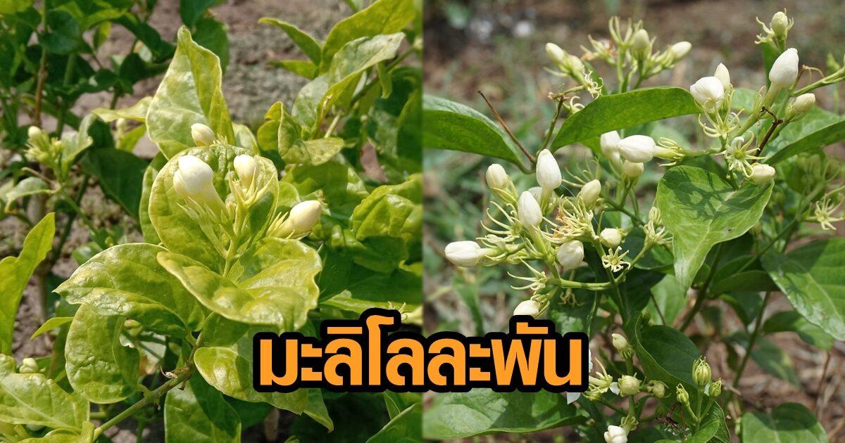 ราคาดอกมะลิ พุ่ง กิโลกรัมละพัน เกษตรกรโอด อากาศแปรปรวนหนัก ไม่ออกดอก ขาดรายได้