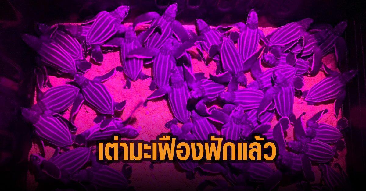 ลูกเต่ามะเฟืองรังที่ 4 ชายหาดบางขวัญ พังงา ฟักแล้ว รอด 58%