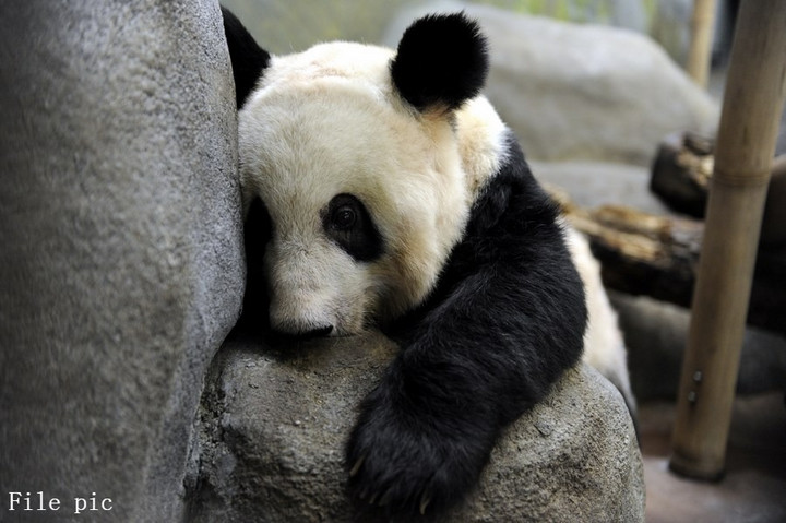 สวนสัตว์สหรัฐฯ เผยสองแพนด้ายักษ์ 'แข็งแรงดี' หลังคลิป 'ยายา' ซูบเซียว ว่อนโซเชียลจีน