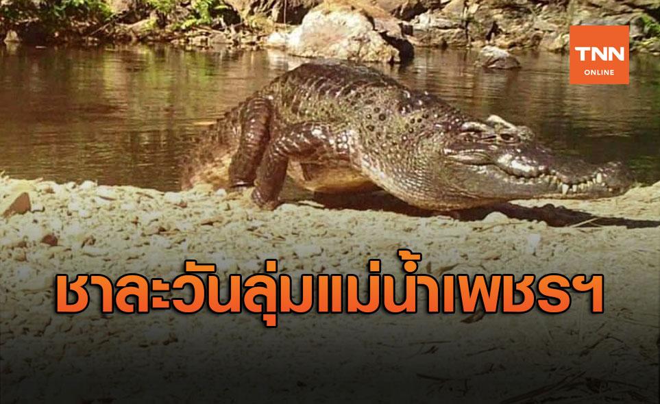 ปลื้ม! พบ 'จระเข้ชาละวัน' สายพันธุ์ไทยแท้หายากต้นแม่น้ำเพชรบุรี