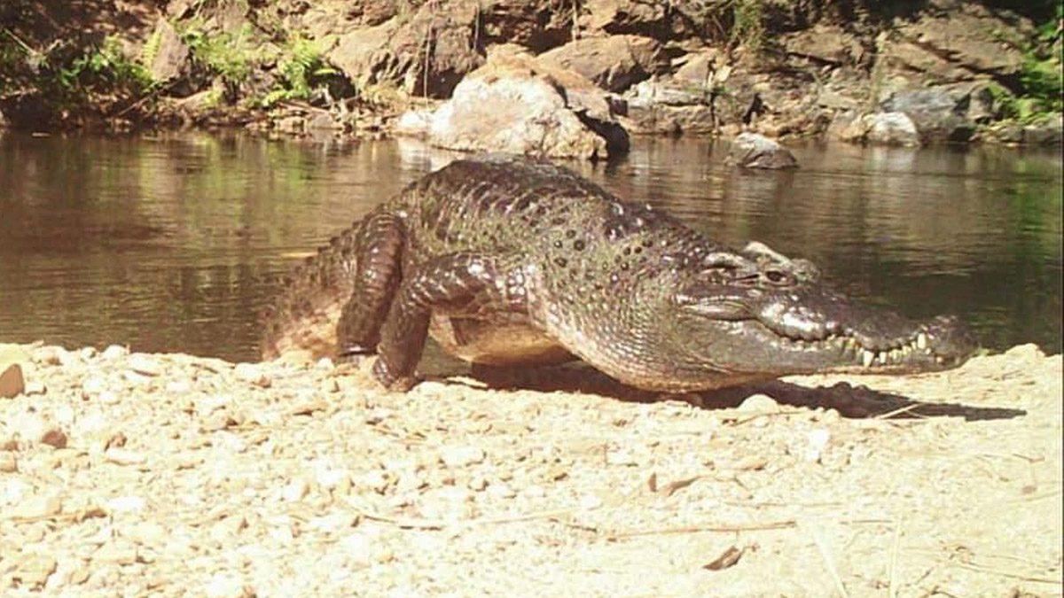 แก่งกระจาน โชว์ภาพ จระเข้น้ำจืด สายพันธุ์ไทย ใกล้สูญพันธุ์ บริเวณต้นแม่น้ำเพชรบุรี