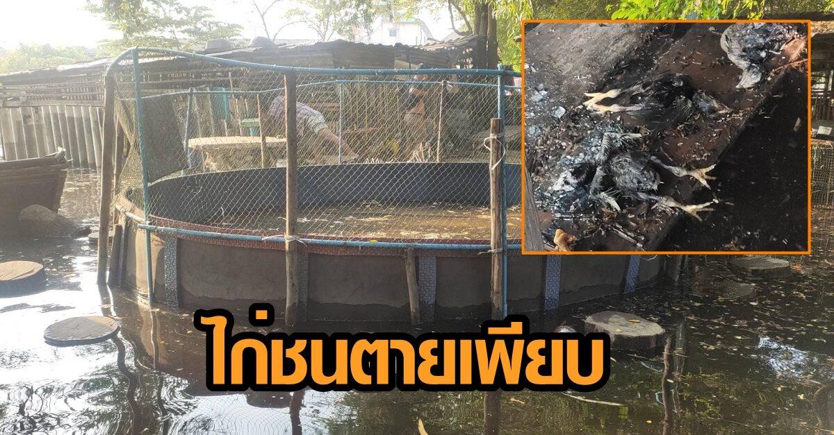 ผู้รับเหมา ขุดถนนโดนท่อประปาแตก ท่วมซุ้มไก่ชน ตายหลายสิบตัว