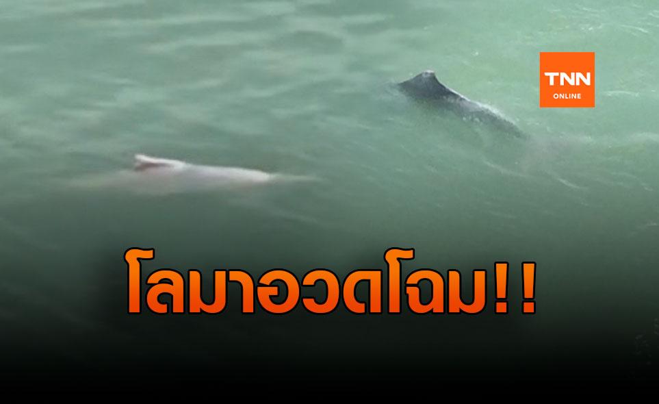 อ่าวไทยสมบูรณ์-โลมาว่ายอวดโฉมนักท่องเที่ยว