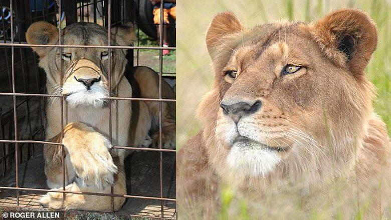ตามไปดูชีวิตใหม่สิงโต สิ้นสุดถูกทารุณจากคณะละครสัตว์ ไปอยู่ป่า