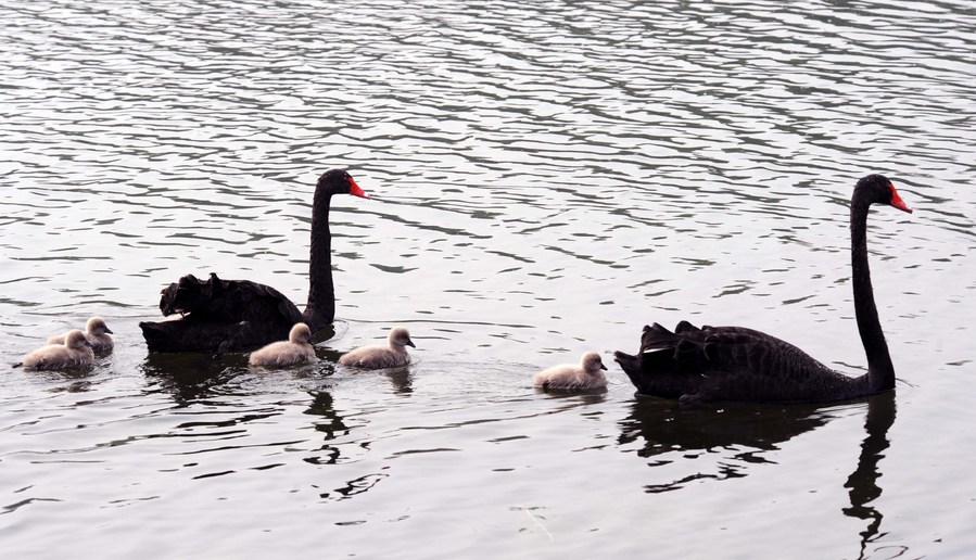 สวนสาธารณะปักกิ่งพบหงส์ป่าติดไข้หวัดนก H5N8