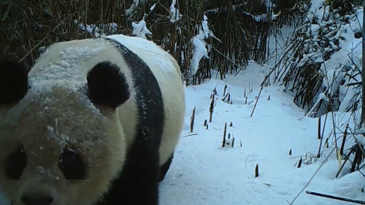 กล้องในเขตอนุรักษ์ฯ เสฉวนจับภาพ 'แพนด้ายักษ์ป่า' ได้มากขึ้น
