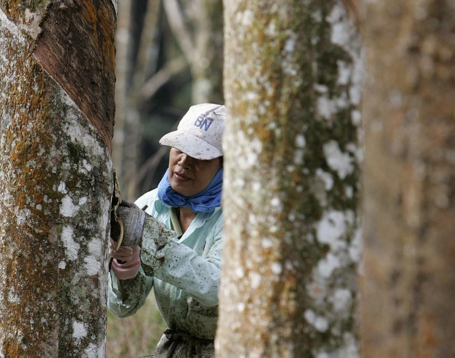 มาเลเซียเผยผลผลิตยางพาราธรรมชาติ ธ.ค. 2020 โต 17.1%
