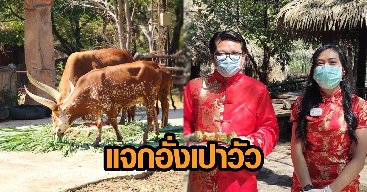 สวนสัตว์ขอนแก่น เนรมิตพื้นที่รับตรุษจีน มอบอั่งเปา 'วัววาตูซี่' รับปีฉลู