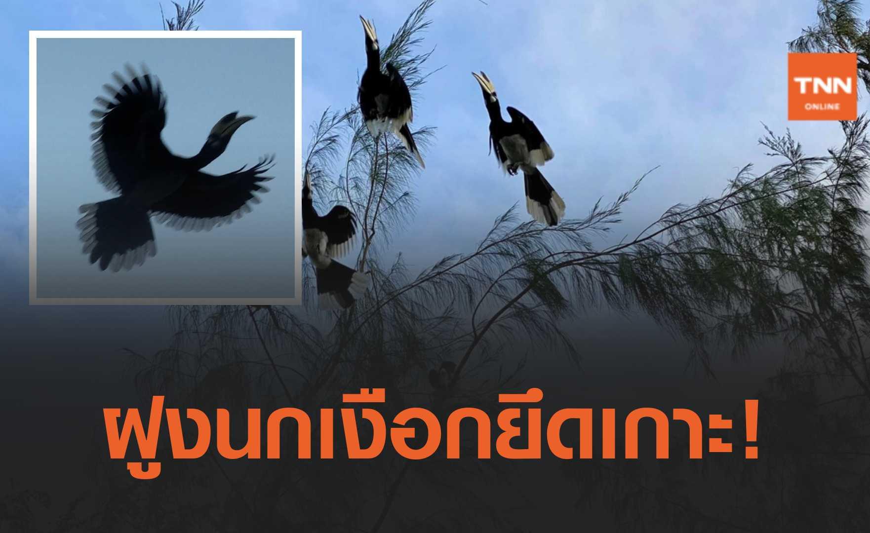 เกาะสมุยธรรมชาติฟื้นฟู นกเงือกหลายร้อยตัว ลงหากินใกล้ชิดชาวบ้าน