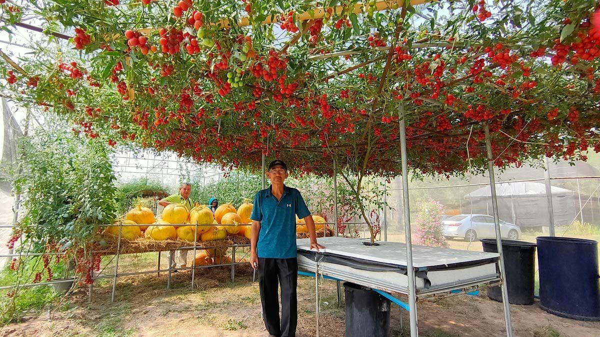 ม.อุบลฯ โชว์นวัตกรรม มะเขือเทศเชอรี่ แค่ต้นเดียวลูกดกกว่า 4 พัน ราคาสูงด้วย
