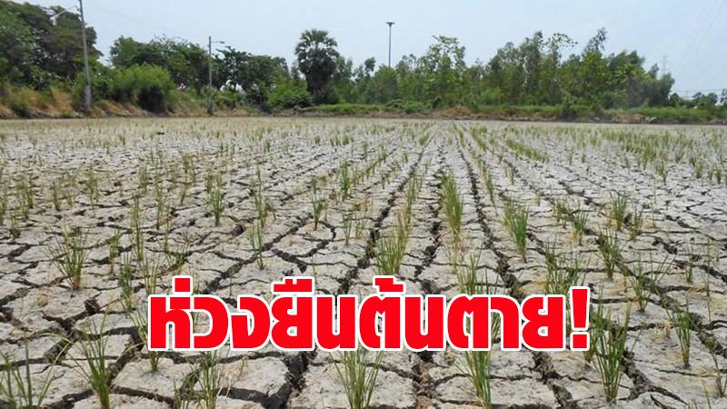 น้ำไม่พอแน่! กรมชลฯ ห่วงข้าวยืนต้นตาย หลังชาวนาแห่ปลูกเกินแผน 3 ล้านไร่