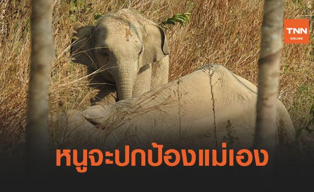 เอ็นดู! ช้างน้อยเฝ้าแม่ล้มป่วยกลางสวนยาง วิ่งใส่จนท.หวังปกป้องแม่
