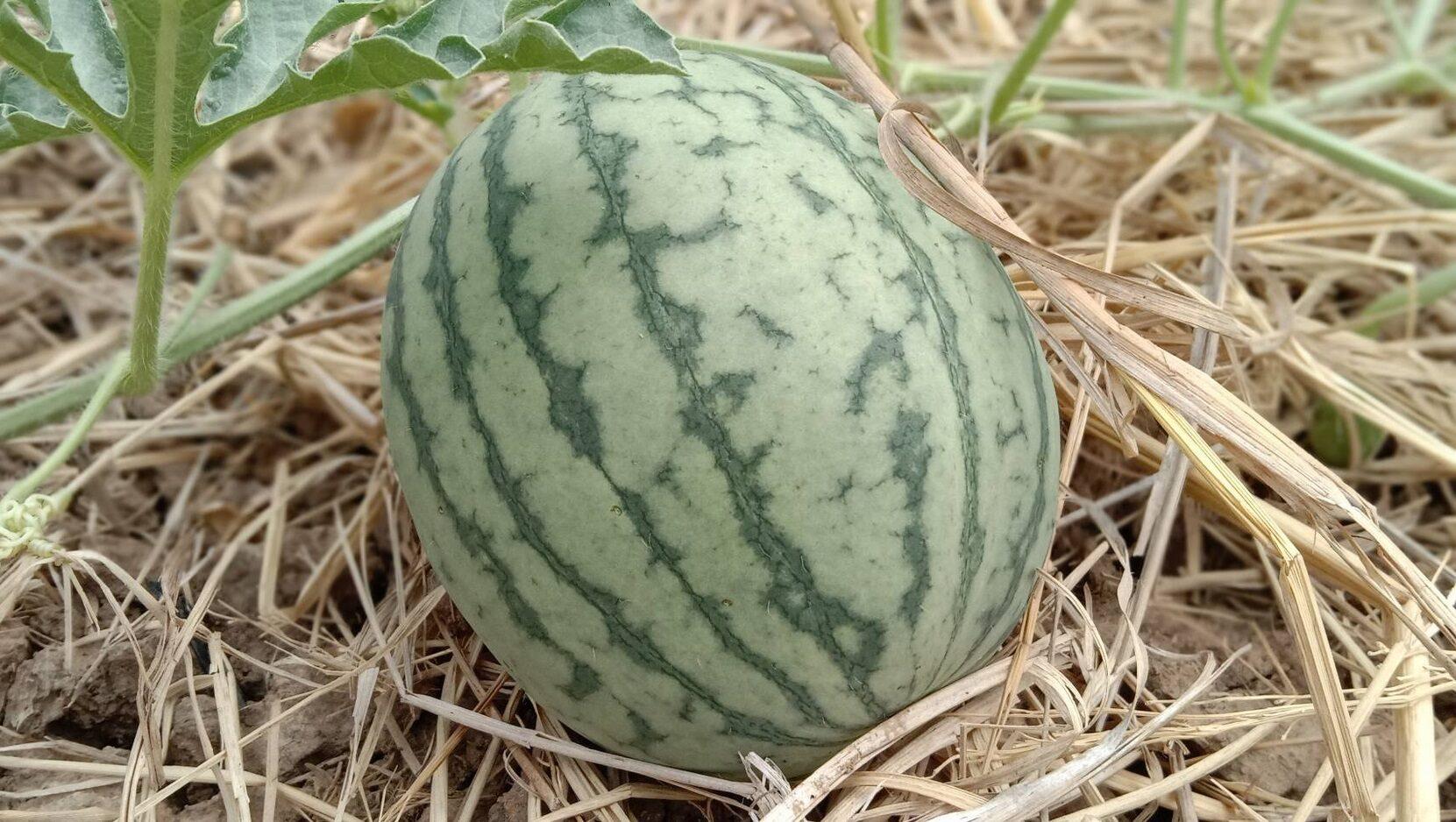 สู้แล้ง! เกษตรกรโคราชปลูกแตงโมน้ำหยดปลอดสารพิษ แทนปลูกข้าวนาปรังโกยรายได้เป็นแสน (มีคลิป)
