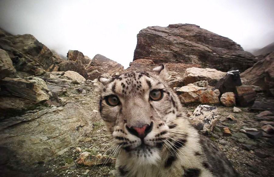นักวิจัยจีนใช้ 'ดาวเทียม' ติดตามพฤติกรรมเสือดาวหิมะสำเร็จ