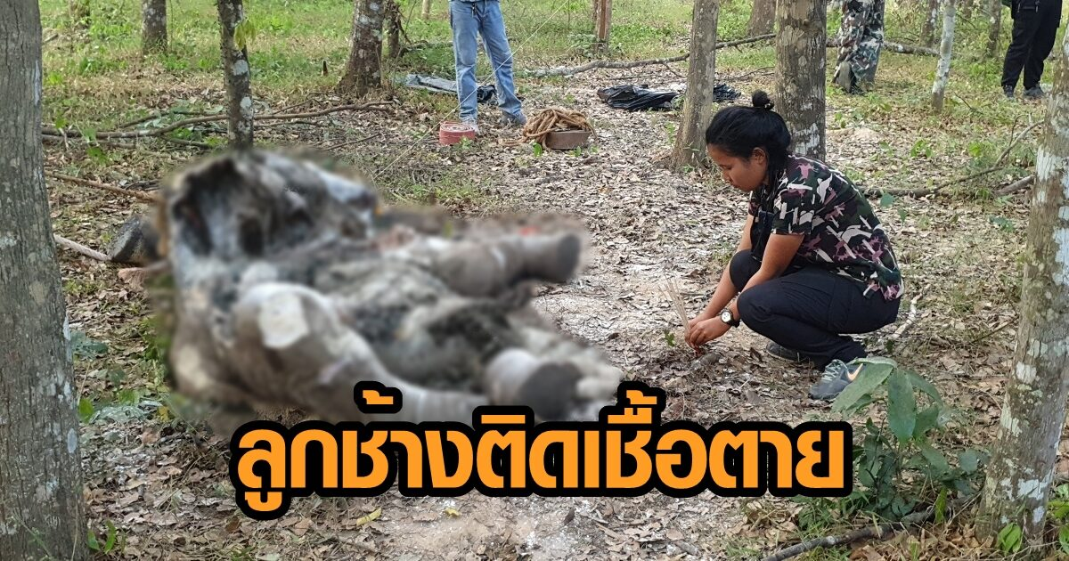 พบซากลูกช้างกุยบุรี วัย 2 ปี ติดเชื้อนอนตายอนาถกลางป่านับสิบวัน คาดถูกขับจากโขลง