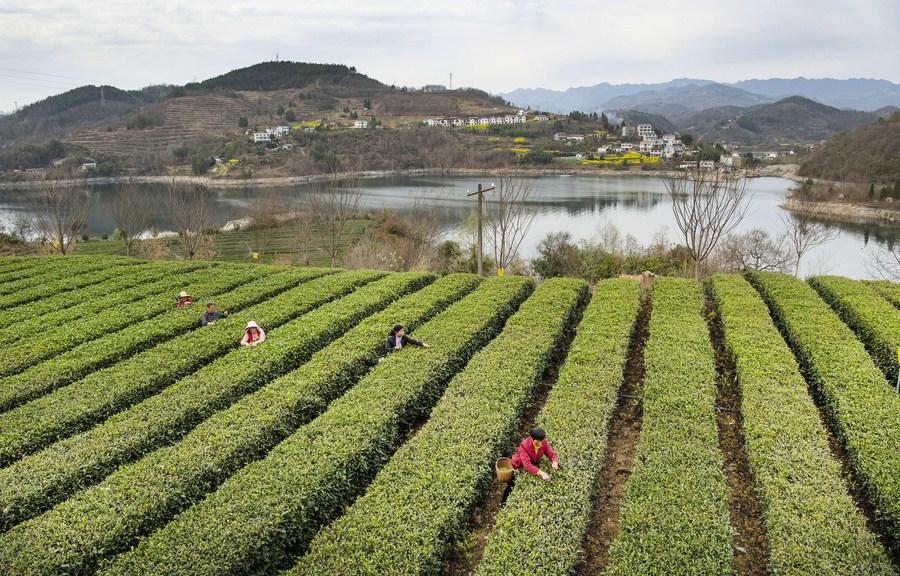 เกษตรกรเก็บใบชาสดใหม่ในส่านซี