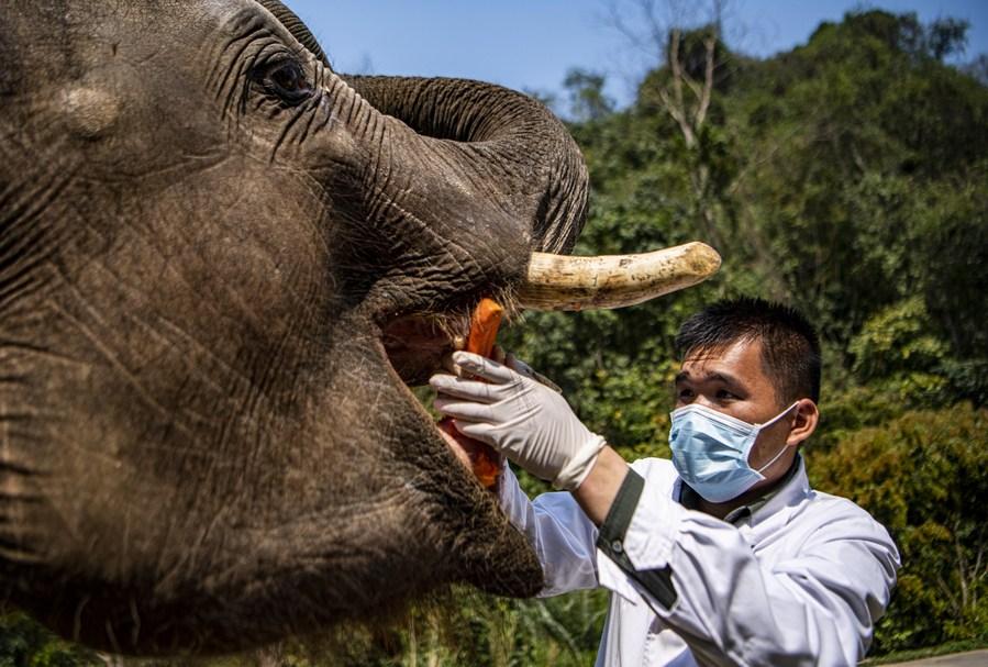 ยูนนานตรวจร่างกาย 'ช้างเอเชีย' สัตว์ป่าคุ้มครองระดับสูงสุดของจีน