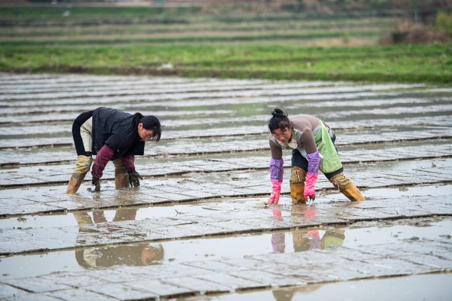 ชาวนาจีนลุยจัดเรียง 'ถาดเพาะกล้าข้าว' ในหูหนาน