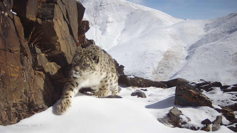 WWF เผยมองโกเลียมี 'เสือดาวหิมะ' อาศัยอยู่กว่า 950 ตัว