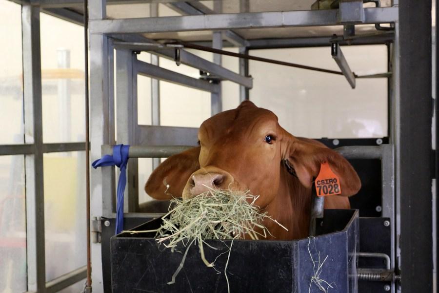 ผลวิจัยชี้ ให้วัวกิน 'สาหร่ายทะเล' ลดปล่อย 'ก๊าซมีเทน' ได้มหาศาล