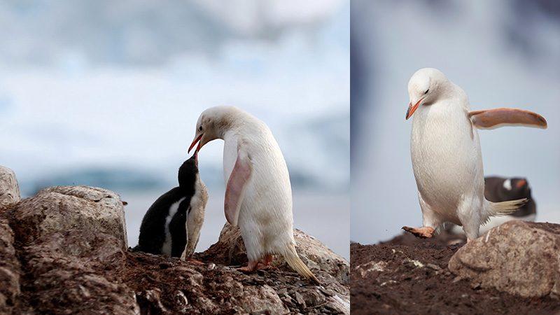 เพนกวินเจนทูสีขาวหายากยิ่ง ป้อนอาหารลูกน้อยริมฝั่ง ช็อตน่ารักในแอนตาร์กติกา