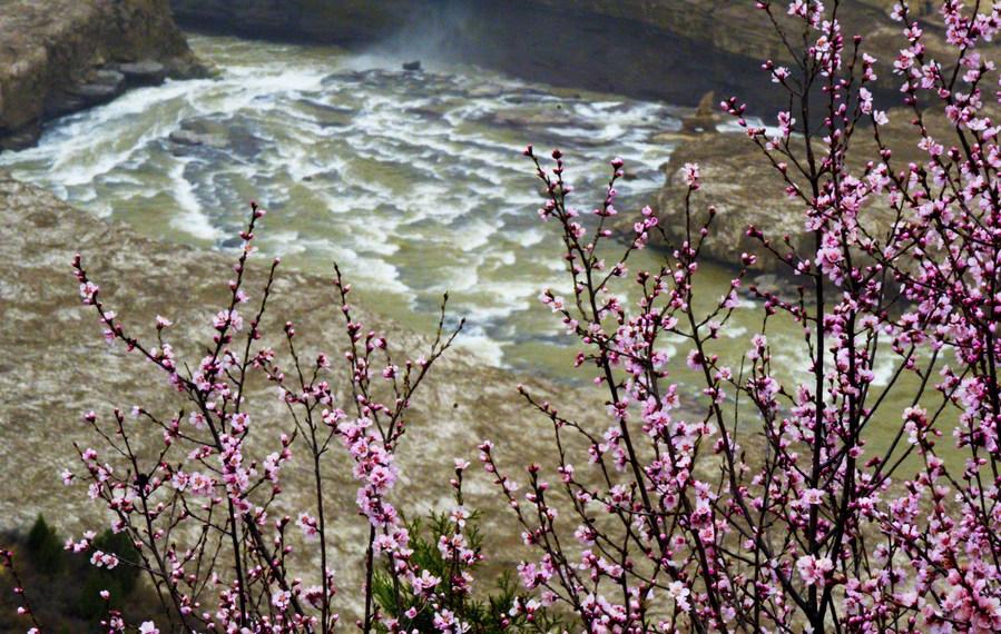 ยล 'ดอกท้อ' อวดสีสันโดดเด่น ริมน้ำตกยักษ์หูโข่ว