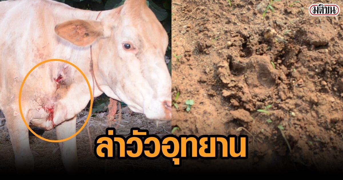 สัตว์ป่าหิวโซ ออกล่าวัวอุทยาน ทั้งกัด-ทั้งตะปบ พบรอยเท้าเพียบ คาดไม่เสือก็หมี