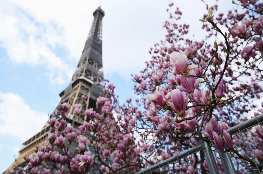 'ดอกแมกโนเลีย' อวดโฉมรับวสันต์กลางกรุงปารีส