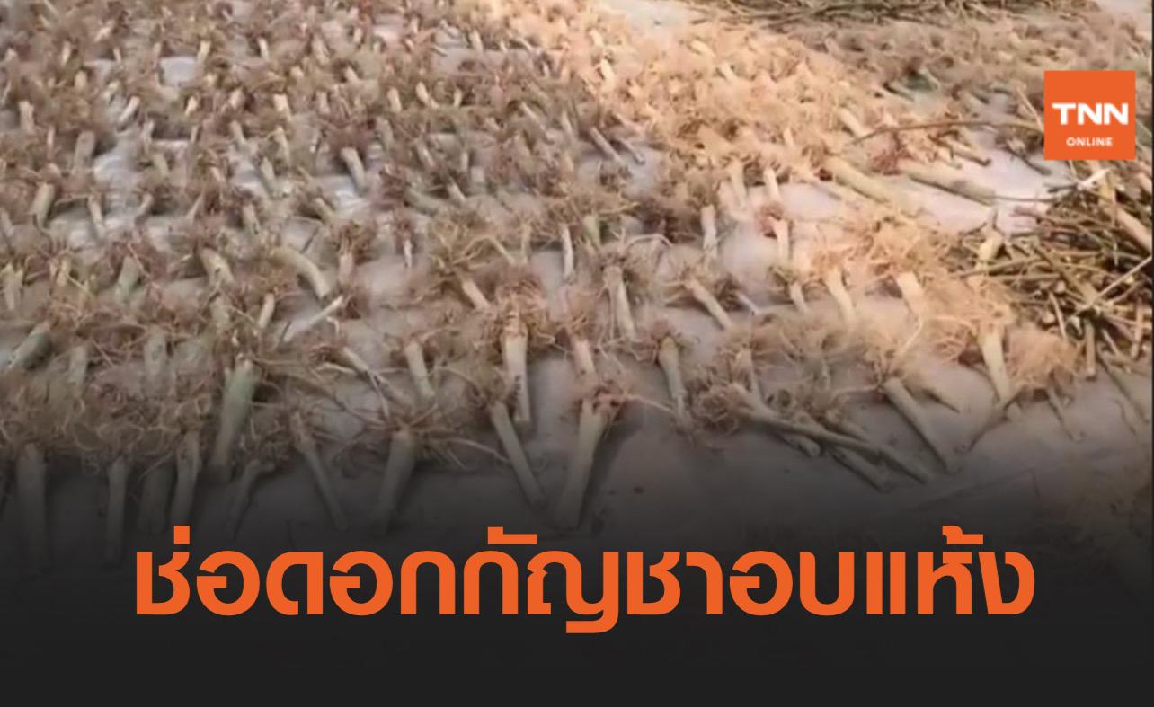 ตัด-อบแห้งแล้ว! ส่งมอบ ช่อดอกกัญชา ให้แพทย์แผนไทย