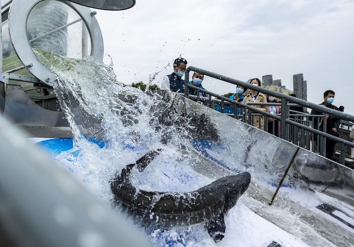 จีนปล่อย 'ปลาสเตอร์เจียน' ใกล้สูญพันธุ์ลงแม่น้ำแยงซี