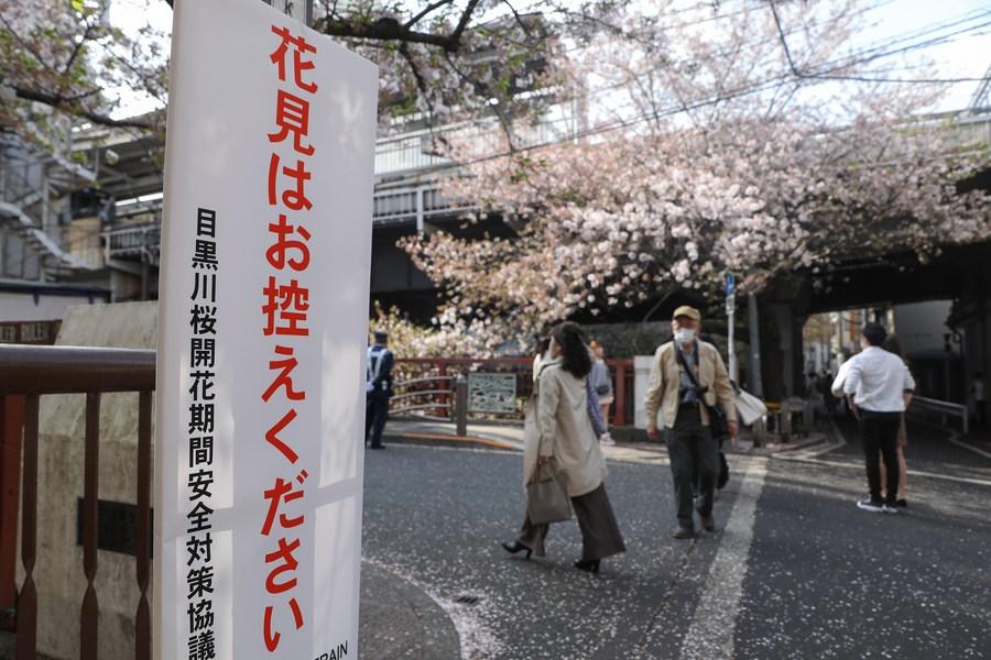 เมืองนี้เป็นสีชมพู! ซากุระผลิบานแต้มความสดใสให้ 'โตเกียว'