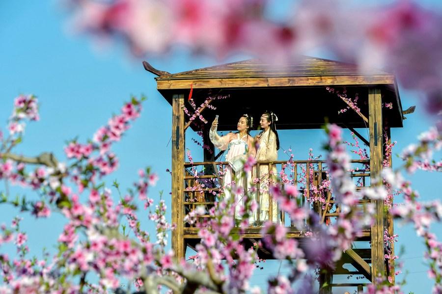 งามแท้แม่นาง...สาวจีนสวมฮั่นฝู ลัดเลาะ 'ป่าดอกท้อ' 4,000 ไร่