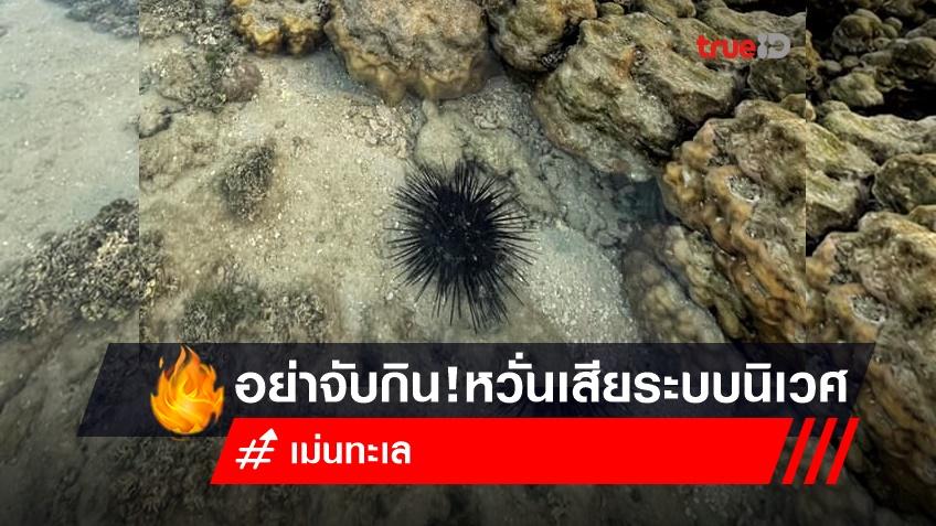 เจอเม่นทะเล...อย่าจับกิน!ธรณ์ ห่วงหมด เสียระบบนิเวศ