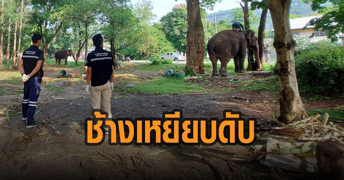 สลด! ช้างเลี้ยงเหยียบนักท่องเที่ยวดับอนาถ ริมถนนขึ้นเขาใหญ่