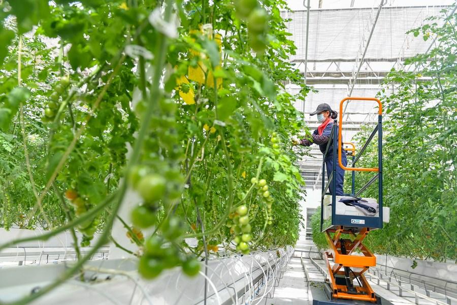 เรือนกระจกจีน ปลูกผักผลไม้ไร้ดิน ผลผลิตงามตลอดปี