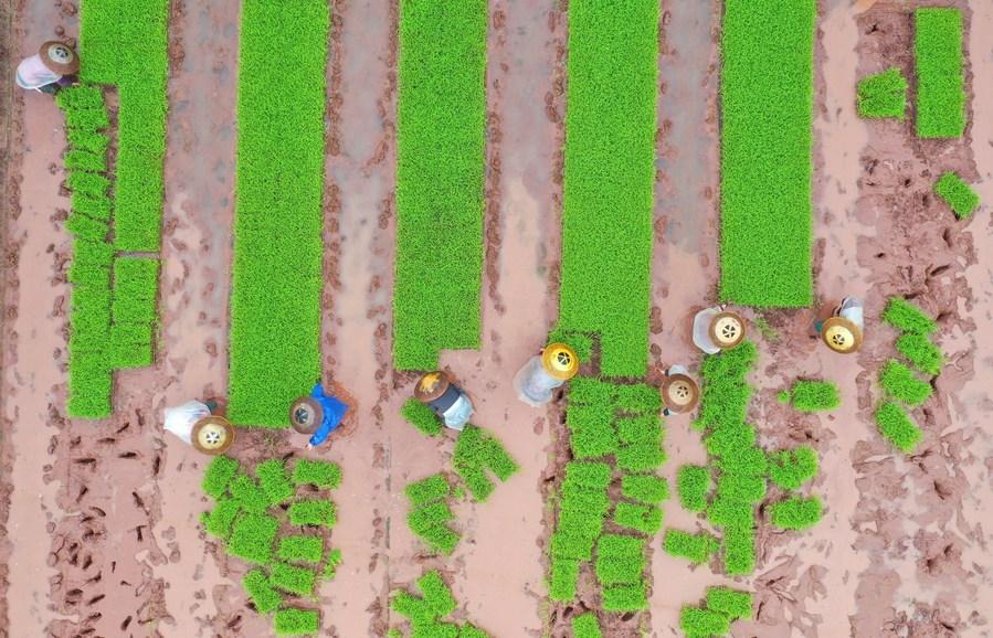 เหล่าเกษตรกรจีนเบิกบาน ลุยงานท้องทุ่งรับวสันตฤดู