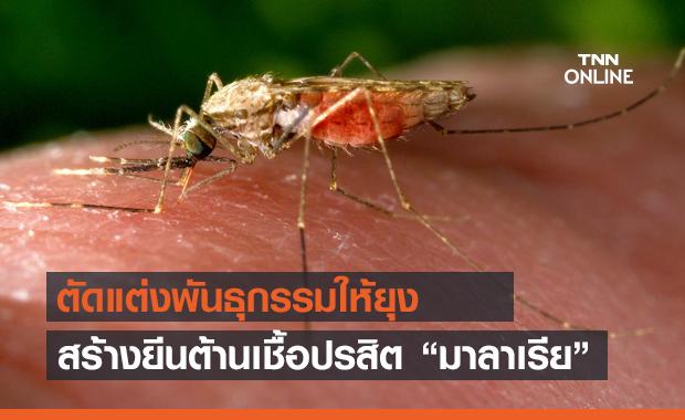 นักวิทย์ฯ เพาะพันธุ์ยุงที่มียีนต้านมาลาเรีย หวังป้องกันโรคระบาด