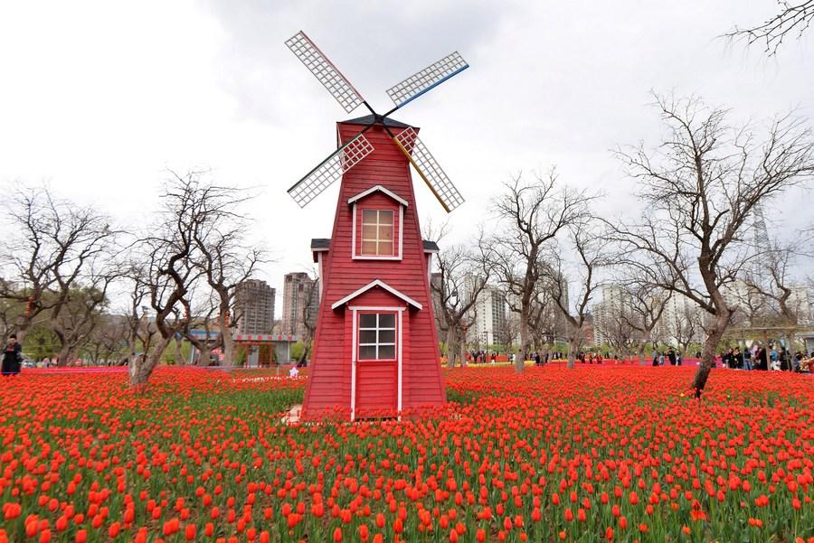 นึกว่าเนเธอร์แลนด์! ยลทุ่ง 'ดอกทิวลิป' สีสันสดใสในกานซู่