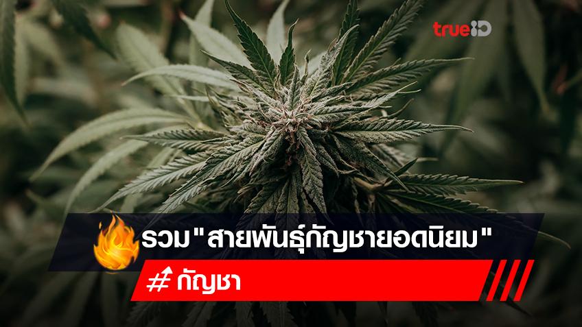 """รู้จัก """"สายพันธุ์กัญชายอดนิยม"""" ทั้งไทยและเทศ"""