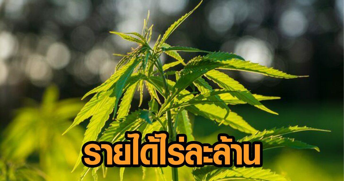 ศูนย์วิจัยกสิกรไทยแนะการปลูกกัญชง คาดรายได้ 1 ล้านบาทต่อไร่