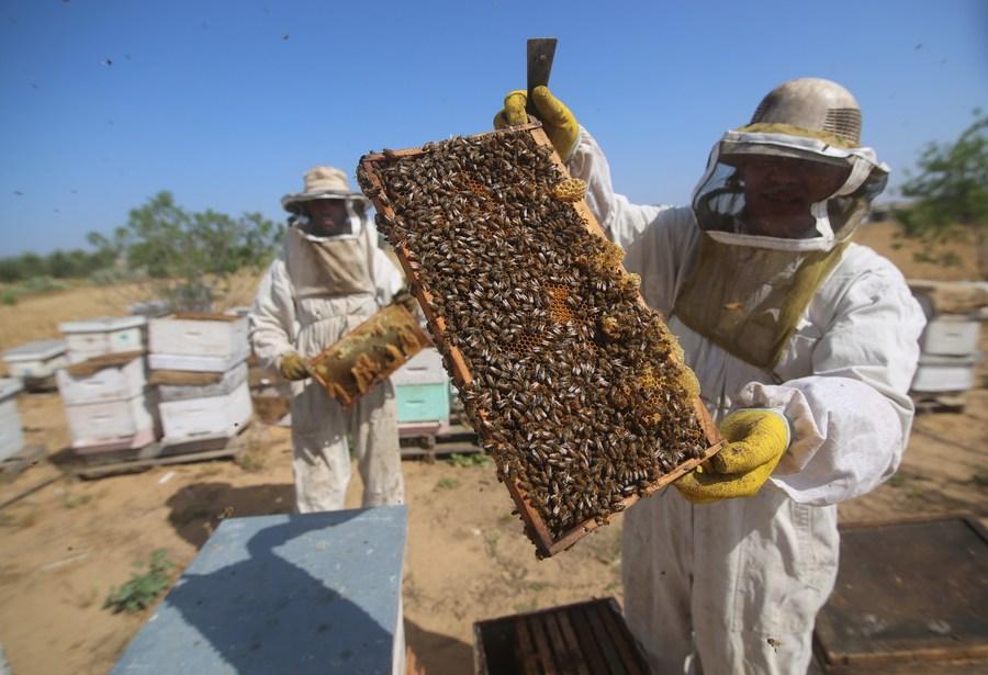 ครอบครัวปาเลสไตน์คนเลี้ยง 'ผึ้ง' ในฉนวนกาซา
