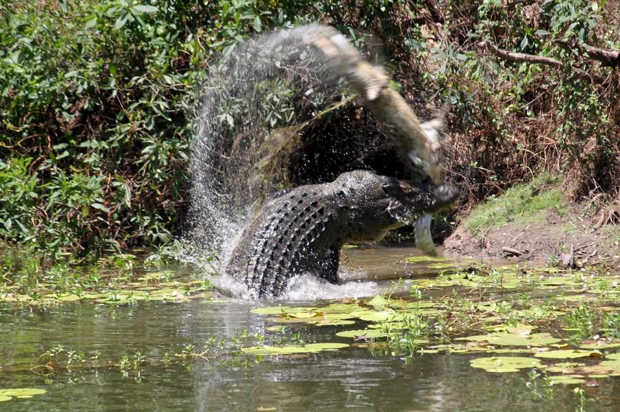 คนตกปลาในออสซี่ช็อก จระเข้ยักษ์ 'กระโดด' โจมตีบาดเจ็บ