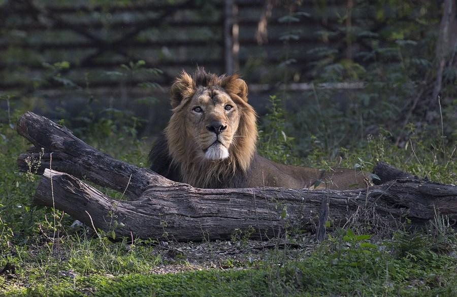 อินเดียพบ 'สิงโต' หลายตัวติดโควิด-19 สายพันธุ์เดลตา