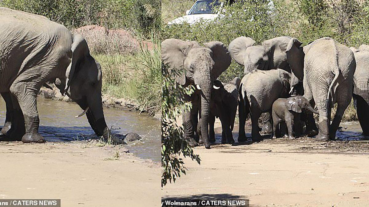 ช้างน้อยตกแม่น้ำลึก แม่ช้างร้องแปร้น ช้างทั้งโขลงแห่มาช่วย ช็อตระทึกแอฟริกาใต้