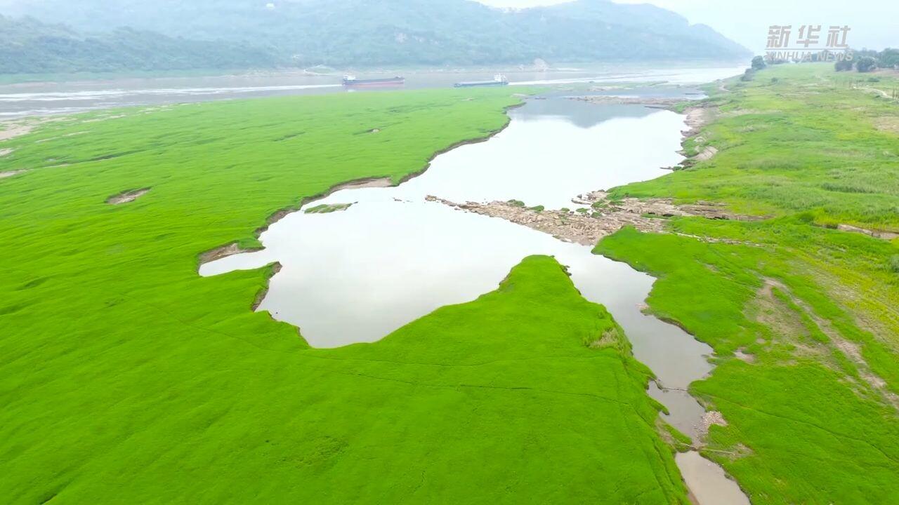 'ทุ่งหญ้าเขียวขจี' ผุดกลางแม่น้ำแยงซี
