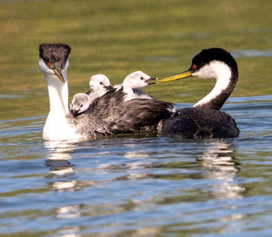 ส่อง 'นกเป็ดผีตะวันตก' เริงร่ากลางผิวน้ำในสหรัฐฯ