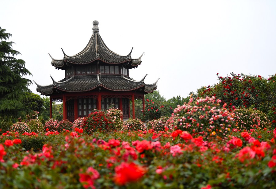 'หมู่บ้านดอกกุหลาบจีน' เลืองชื่อลือนาม สร้างประโยชน์อนันต์