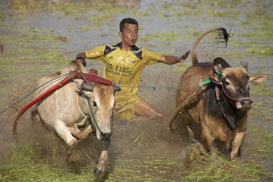 ส่องเทศกาล 'วิ่งวัวกลางปลักโคลน' สุดมันในอินโดฯ